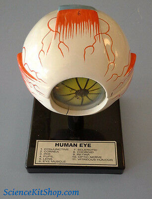 Model of Eye Anatomy
