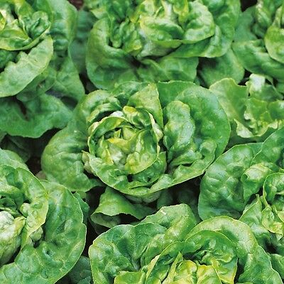 Kings Seeds - Lettuce Arctic King - 1400 Seeds