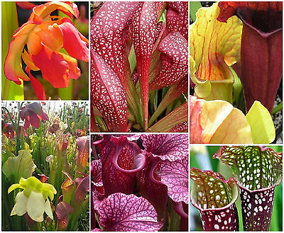PITCHER PLANT * Sarracenia HYBRIDS * NEW MIX OF BLOOM & FOLIAGE COLORS * SEEDS