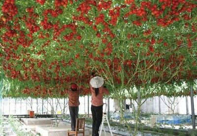 Vegatable seeds - tomato tree high yield Survival Organic Heirloom NON-GMO