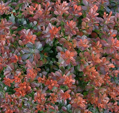 10 BARBERRY BUSH Red Berberis Shrub Seeds *Gift/CombS/H