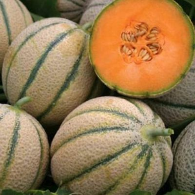 Vegetable  Melon Canteloupe Retato Delgi Ortolani  100 Seeds