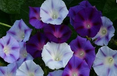 Flower Morning Glory Ipomoea Mixed 70 Finest Seeds