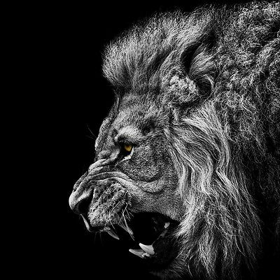 Sticker Poster A4 Animaux Sauvage Savage Animal Lion Black And White.