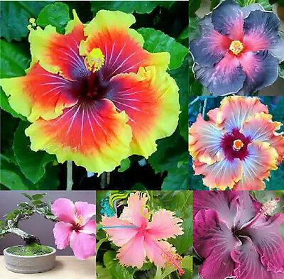 100pcs Mix Hibiscus Blue Coral Flower Gardening Giant Seeds Exotic Pink Color