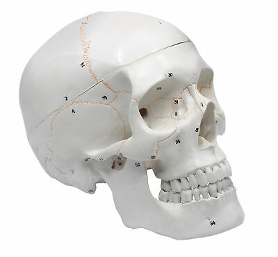 Walter Products B10221 Numbered Human Skull Model 8 x 5 x 6 Inches 3 Parts Life Size