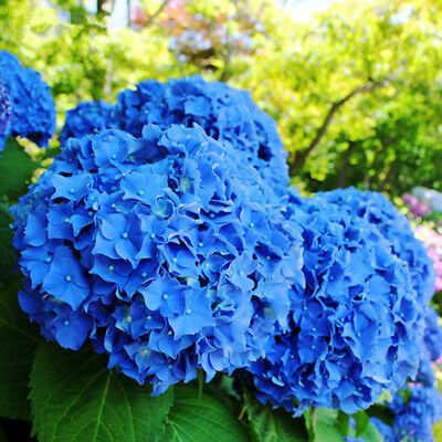 50pcs Rare Blue Hydrangea Flower Seeds Ideal Garden Potted Pretty Plant Seeds t