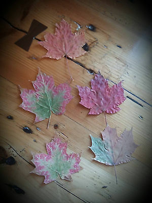 5 Genuine Canadian Maple leaves from 2015yr
