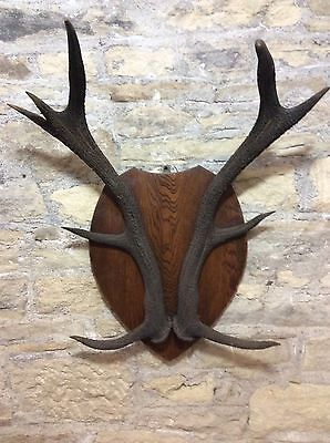 Antique Scottish Red stag mature 10 point dark Antlers mounted on large sheild