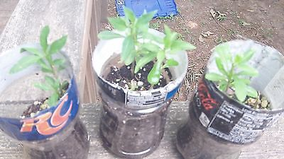 Goji Berry 25+ Fresh Cuttings TWO Amazing Varieties & How-To Propagation Guide