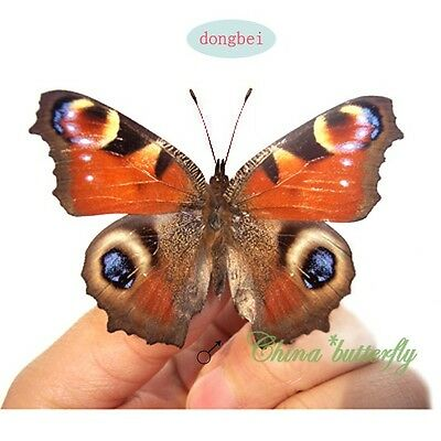 red wholesale 10 pairs unmounted butterfly Nymphalidae Inachis io A1  A1-