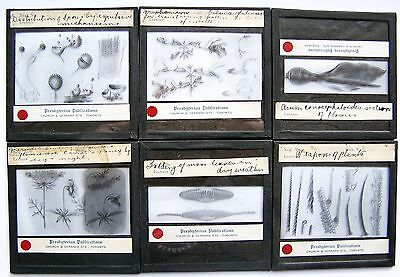 6Pcs Rare Vintage Magic Lantern Glass Slides - Plants And Insects - Lot # 1