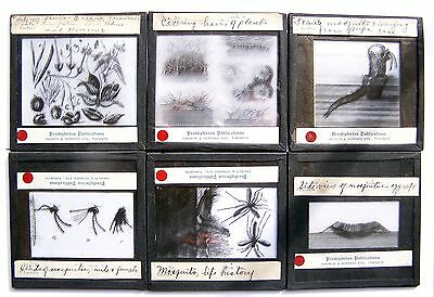 6Pcs Rare Vintage Magic Lantern Glass Slides - Plants And Insects - Lot # 3
