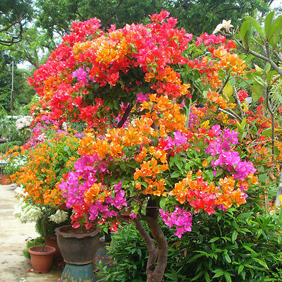 Colorful Bougainvillea Spectabilis Willd Seeds Bonsai Plant Flower Seeds