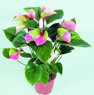 Anthurium Pink+green Seed, Anthurium Andraeanu Seeds, Indoor Potted Flowers