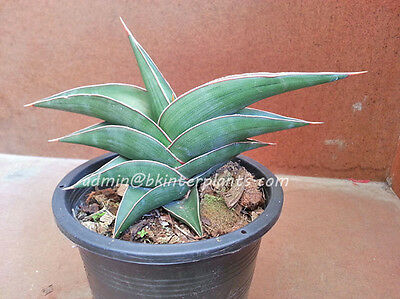 "Rare Sansevieria ""Dwarf Samuri"" Very Good Form Nice Strong Leaf+Free Phyto@@"