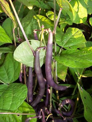 Vegetable  Dwarf French Bean  Purple Queen  100 Italian Seeds  ** Free Uk P&P**