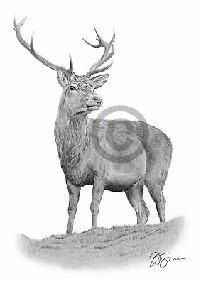 RED DEER pencil / graphite print A4 / A3 signed by UK artist drawing art