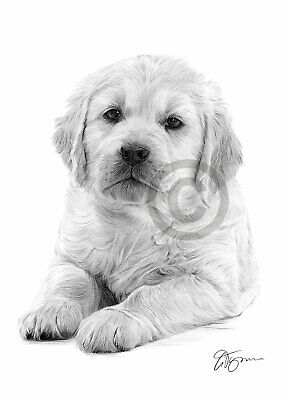 Dog GOLDEN RETRIEVER PUPPY Pencil Drawing Print A4 only signed by artist