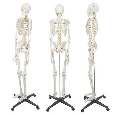 New 5.9' Life Size Human Skeleton Anatomical Medical Recreational Model & Stand