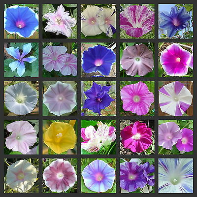 MORNING GLORY MIX ◆ Over 30 different types ◆ 100+ + Seeds ◆ Many Very Rare ◆