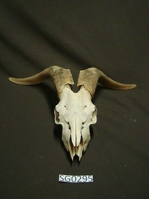 Goat skull decorative art hill country outdoors SG0295