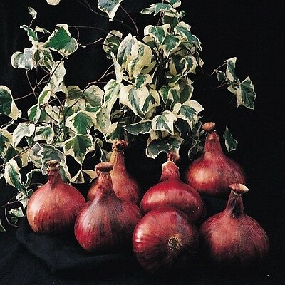 Kings Seeds - Onion Mammoth Red - 100 Seeds