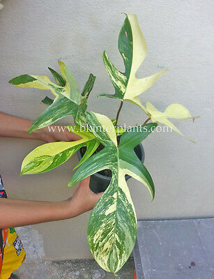 "RARE Philodendron ""Bipennifolium Schott Variegated"" Keep Collector+Free Phyto@"