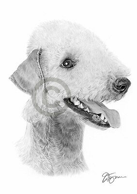 BEDLINGTON TERRIER dog pencil drawing art print A3 / A4 sizes signed