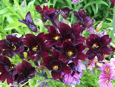 25 CHILEAN BLACK PAINTED TONGUE Salpiglossis Sinuata Paisley Flower Seeds + Gift