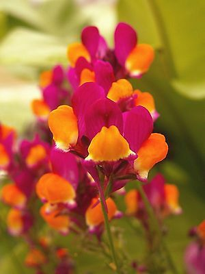 500 FLAMENCO LINARIA Reticulata Scarlet Red & Yellow Flower Seeds *Combined Ship