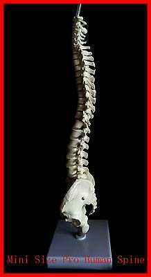 NEW Professional Mini Size Human Spine Model,Medical, Anatomical UK