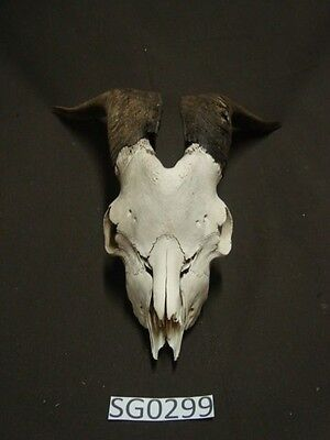Nice small rustic decor goat skull hill country outdoors SG0299