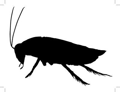 ADULT  Blaptica Dubia Roach ,  Argentine Cockroach .The Lowest Prices