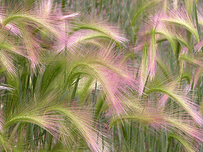 Flower Ornamental Grass Hordeum Jubatum Squirrel Grass 0.5 Gm ~ Approx 310 Seeds