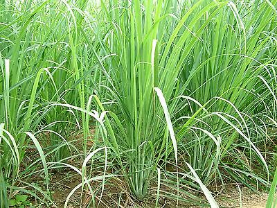 Lemongrass Citronela ( Hierba Limon ) cymbopogon flexuosus 200 semillas  seeds
