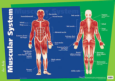 Early Learning Human Body Anatomy Muscular System Educational Wall Chart Poster