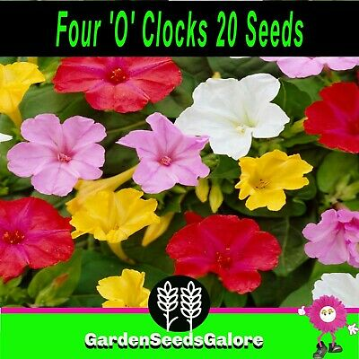 four 'o' clocks Mirabilis 20 flower garden seeds very pretty not for WA or TAS