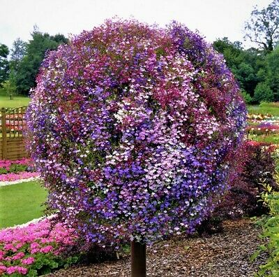 Trailing Lobelia Cascade Mix / Mixed 0.4 Gram ~ Approx 12,000 Seeds
