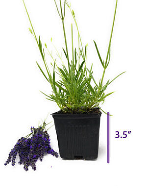 """Provence - French Lavender - Potted - Very Fragrant- 4"""" Size Pot"""