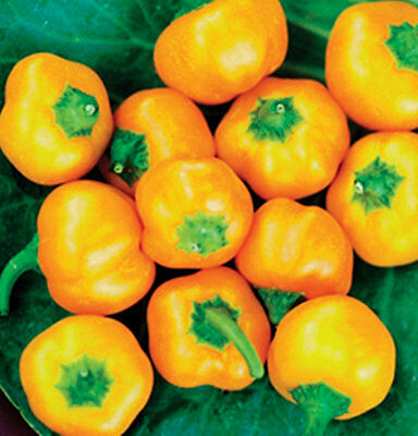 Organic Vegetable Sweet Pepper Mini Bell Yellow 60 Finest Seeds