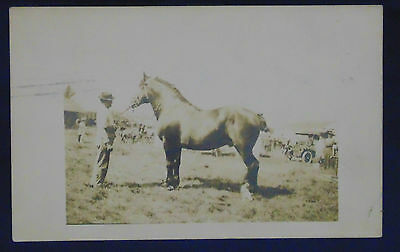 Posted 1912 Hammond, In. Postcard - Draft Horse Stallion And Handler