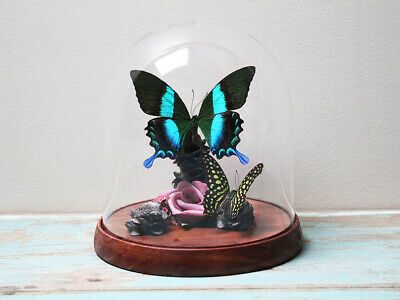 Green Swallowtail Butterfly in a Decorative Dome