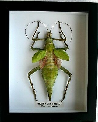 Large Female Thorny Leaf  Insect in a Frame