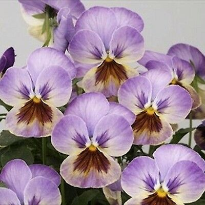 40 Winter Flowering Viola F1 Select Lilac     Bedding Patio Plug plants