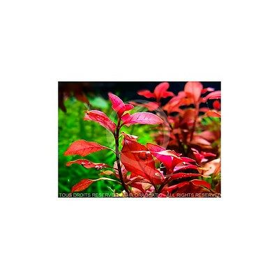 Ludwigia Super mini Red • EUR 5,25