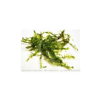 Fontinalis Hypnoides sp. – Quell Willow Moss