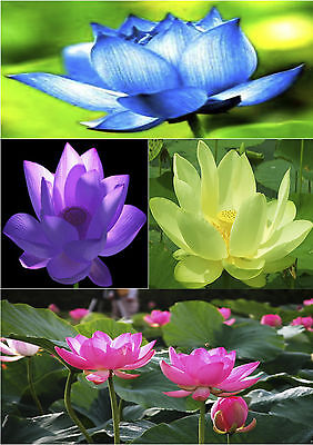 5 Lotus Seed Mixed Colors POND AND WATER GARDEN PLANT