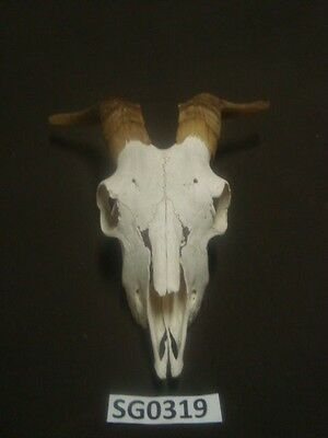 Goat skull hill country outdoors wildlife western decor SG0319
