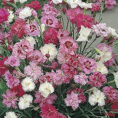 24 Scented  Dianthus Spring Beauty   Mixed Garden Pinks Perennial   Plug plants